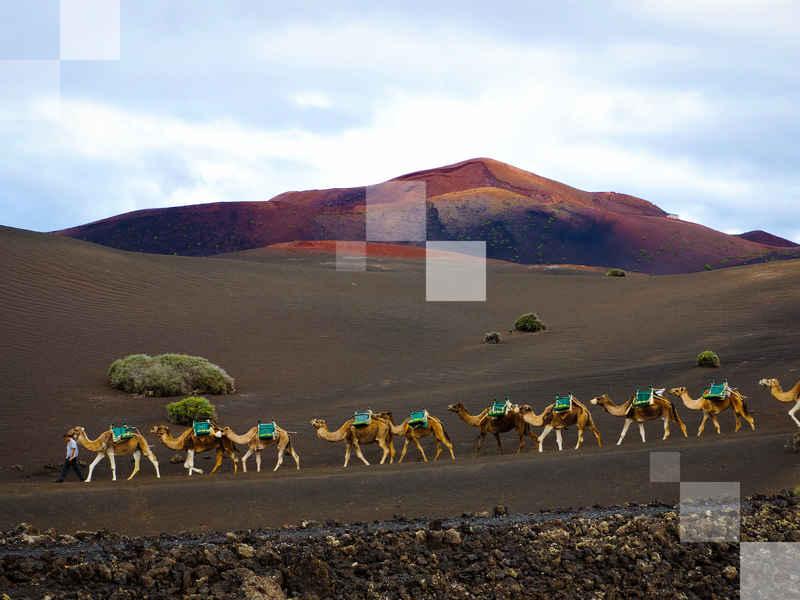 Un convoy de camellos se dirige a casa a través del paisaje volcánico del Parque Nacional de Timanfaya.
